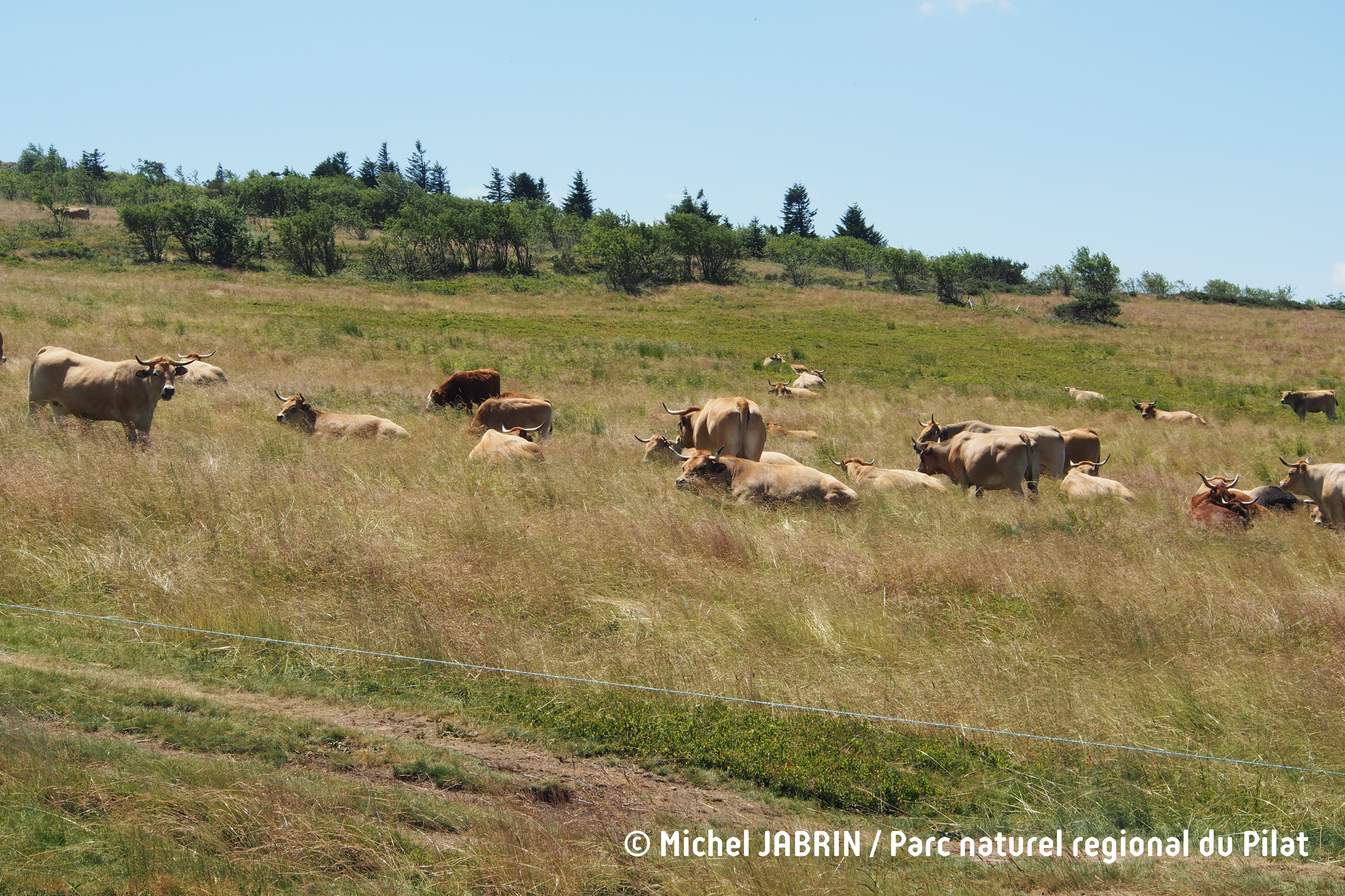 Paturage d'Aubrac